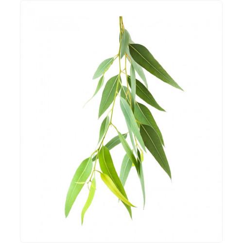 Olejek eukaliptusowy I Olejek eteryczny Eukaliptus
